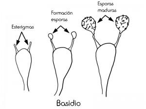 5 basidios