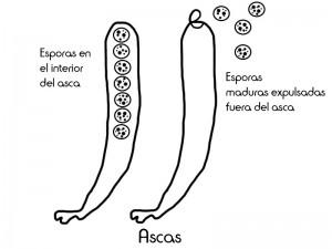 6 asca