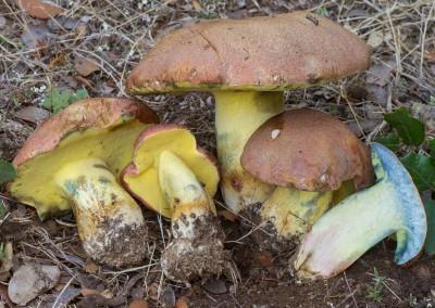 Boletus pseudoregius