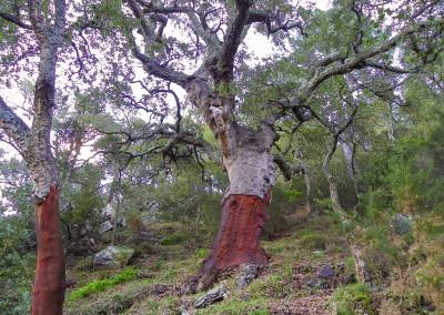 Alcornocal (Foto Paco Sánchez)