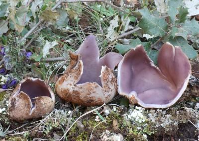 Sarcosphaera crassa
